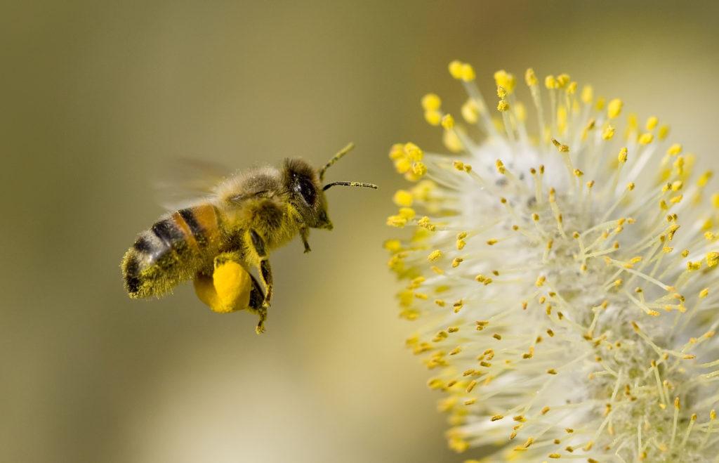 Biene fliegt mit Pollenhöschen auf eine Blüte zu