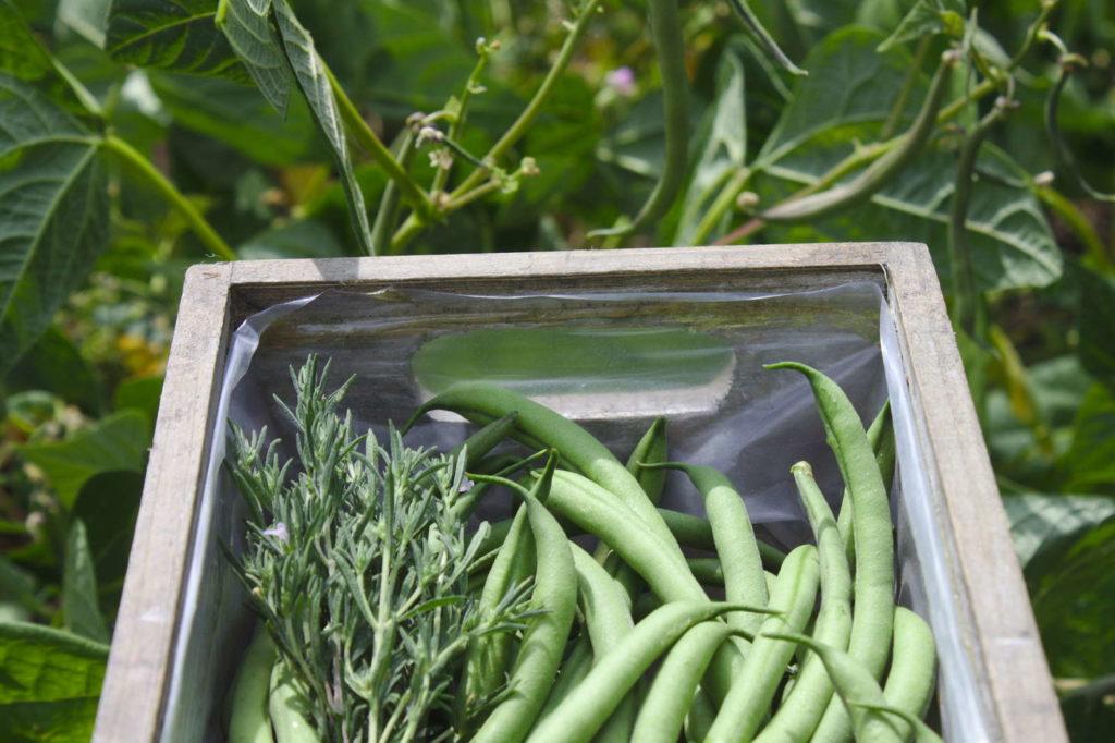 Grüne Bohnen im Kasten