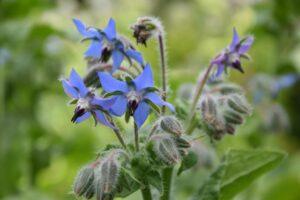 Blau Blühender Borretsch