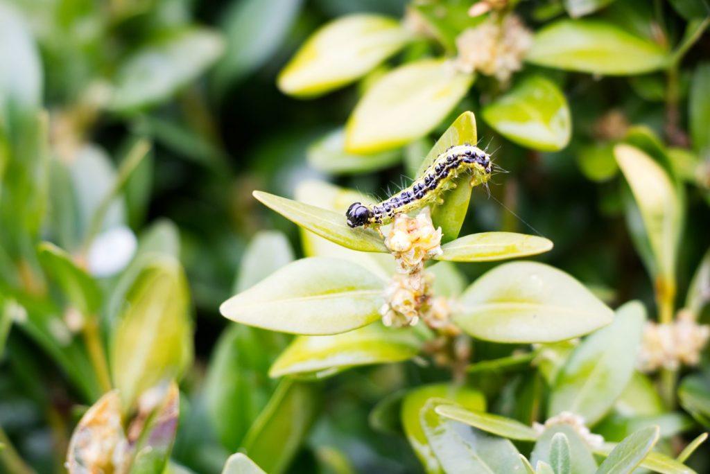 Bauchsbaumzünsler-Raupe sitzt auf Blatt