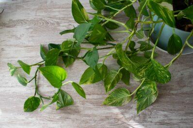 Efeutute: Standort, Einpflanzen & Überwinterung