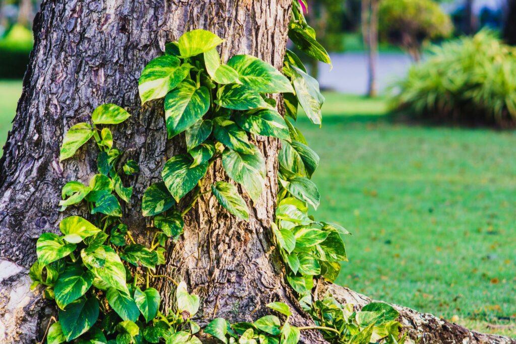 Efeutute an Baum
