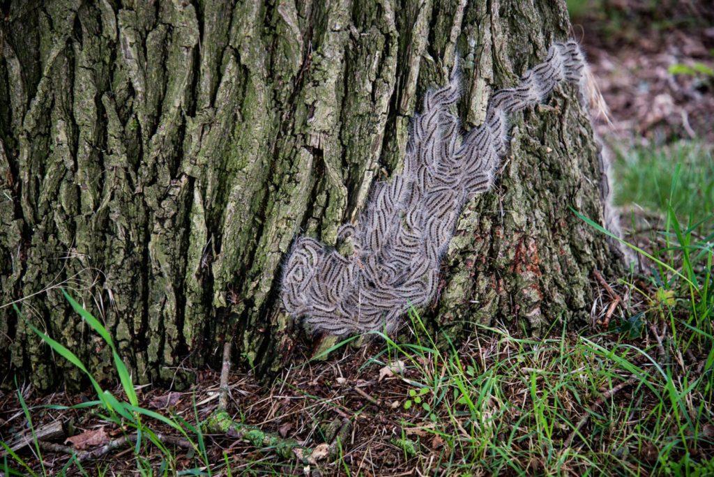 Eichenprozessionsspinner sitzen auf den Wurzeln