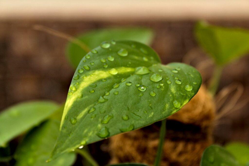 Efeututenblatt mit Wassertropfen