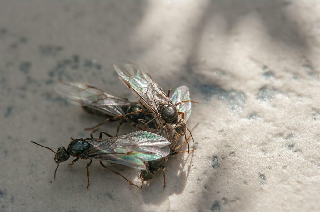 Zwei fliegende Ameisen paaren sich