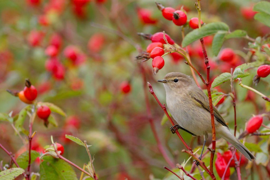 Vogelfreundliche Hagebutte mit Vogel zwischen den Zweigen