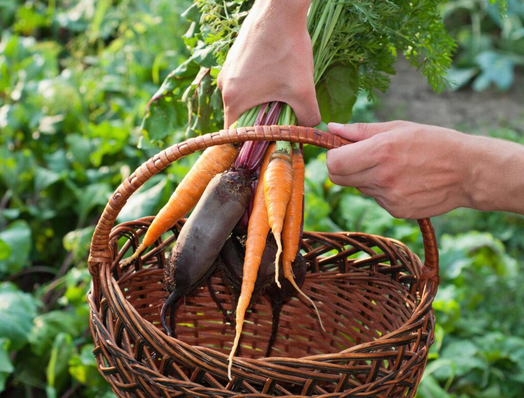 Karotten geerntet im Erntekorb