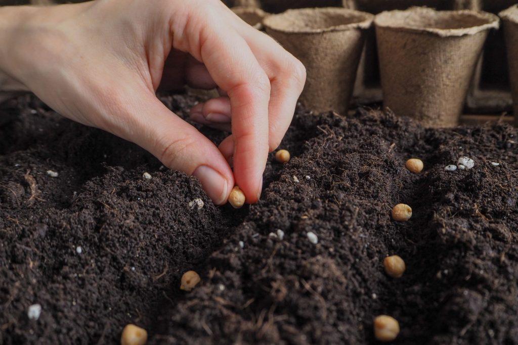 Kichererbsensamen bei der Aussaat in die Erde