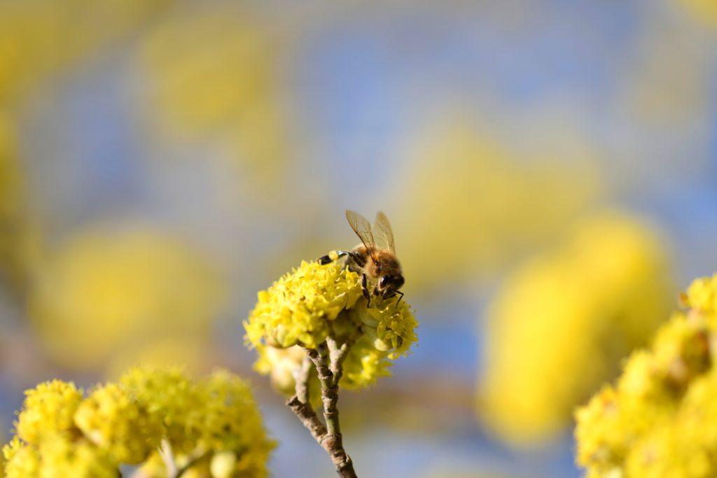 Biene sitzt auf Blüte der Kornelkirsche