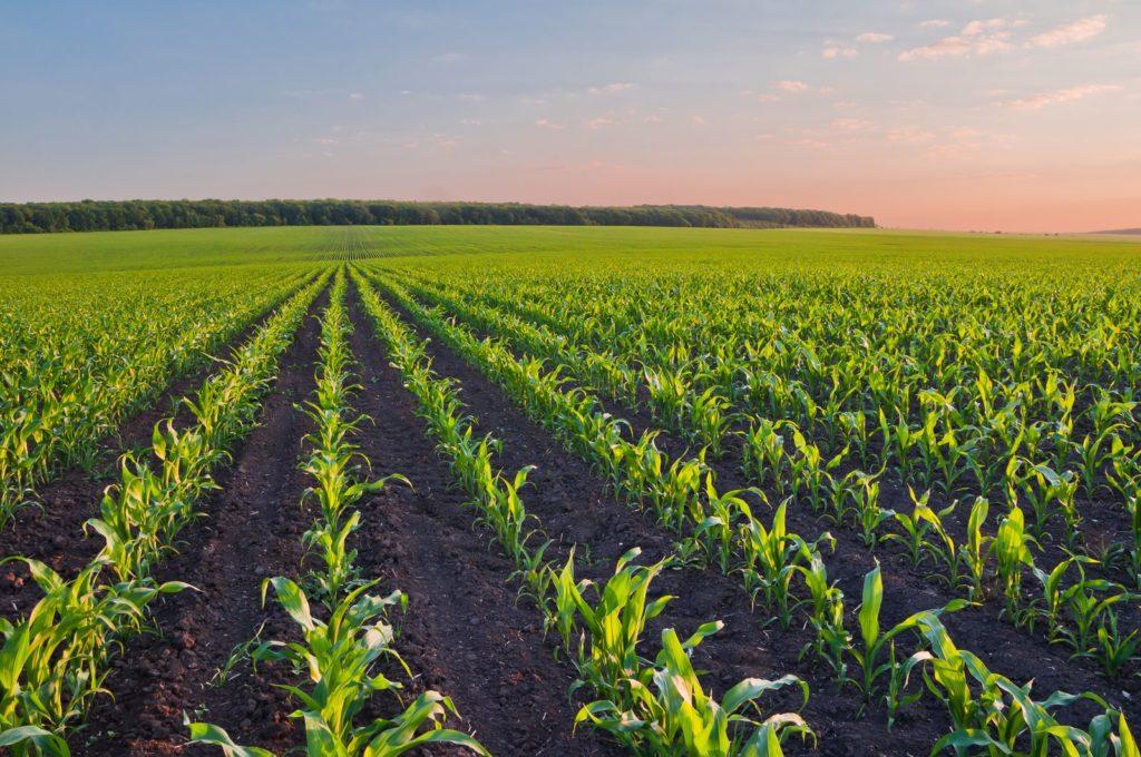 Maispflanzen auf Feld