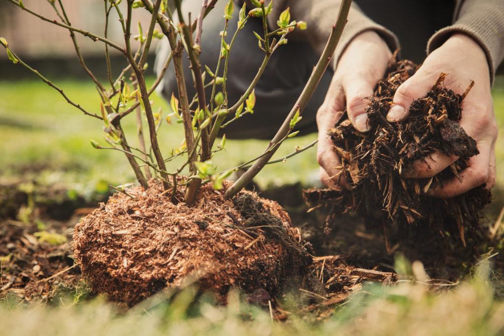 Beerenstrauch mit Mulchschicht per Hand im Garten ausgebracht