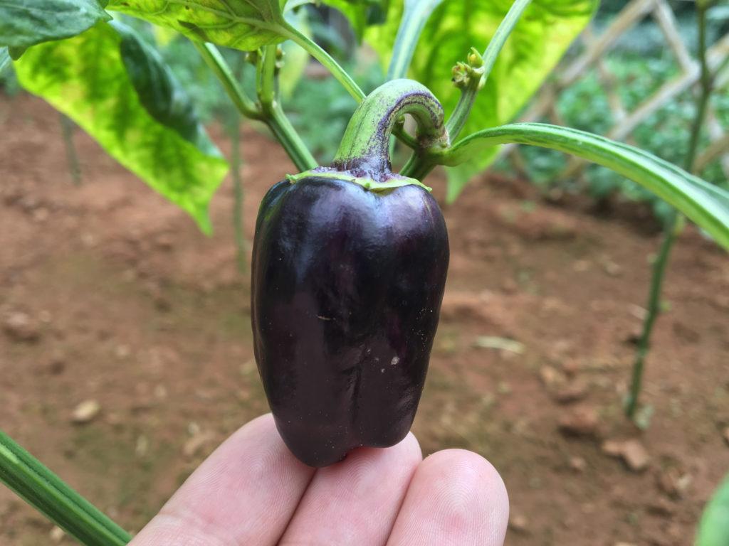 Lila Minipaprika an der Pflanze im Garten