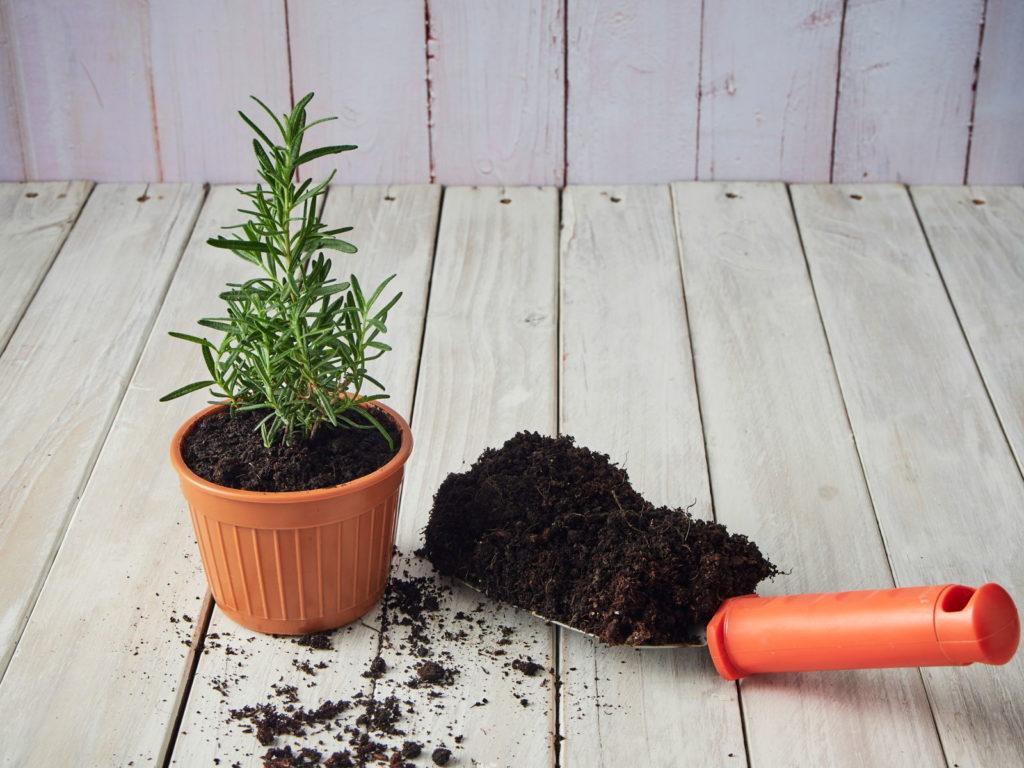 Rosmarin im Topf eingepflanzt
