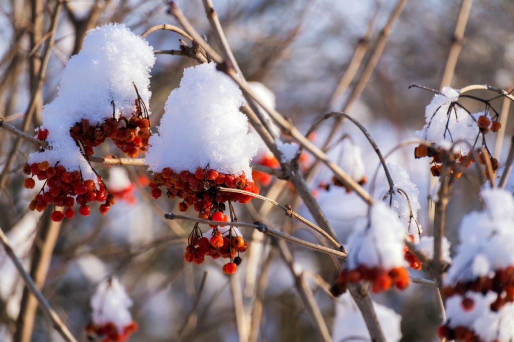 Beeren des Gewöhnlichen Schneeballs im Winter