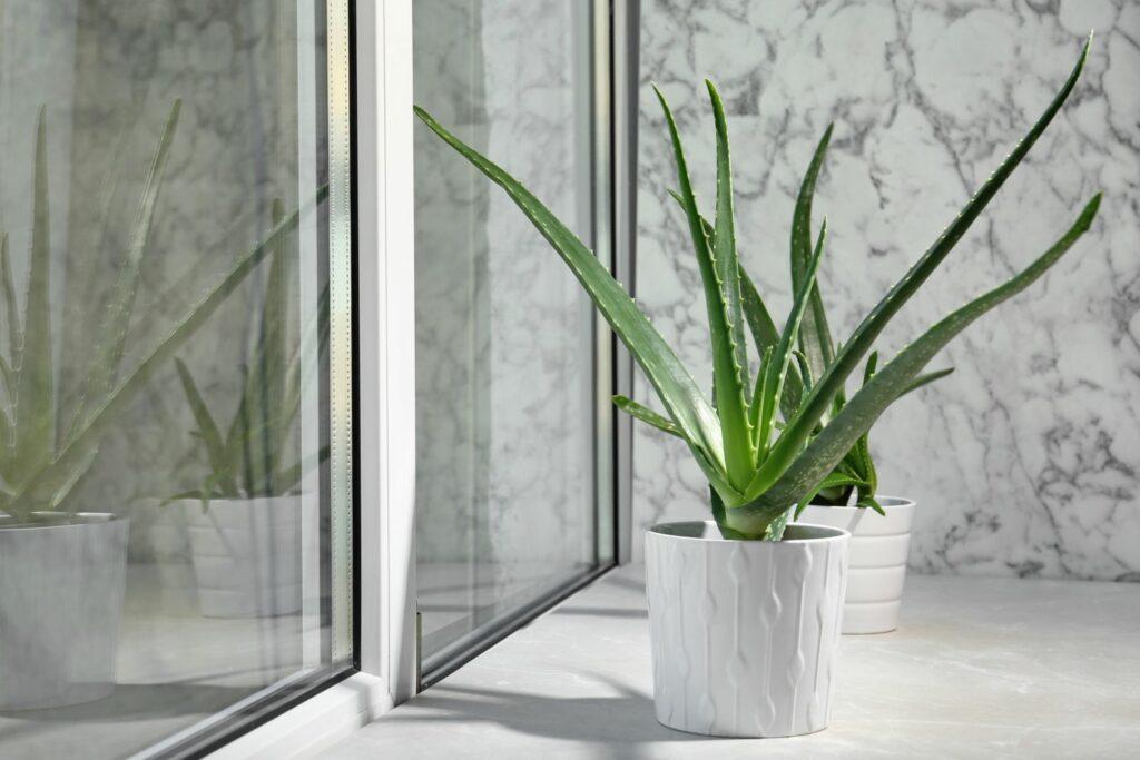 Aloe vera auf dem Fensterbrett