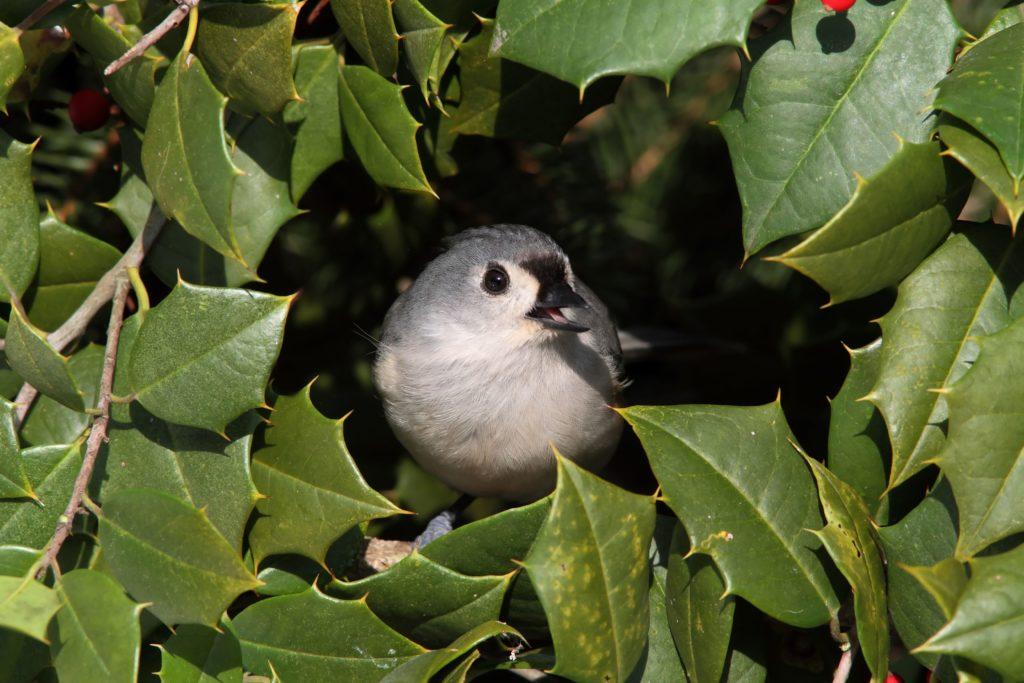 Vogel zwischen Blättern der Stechpalme