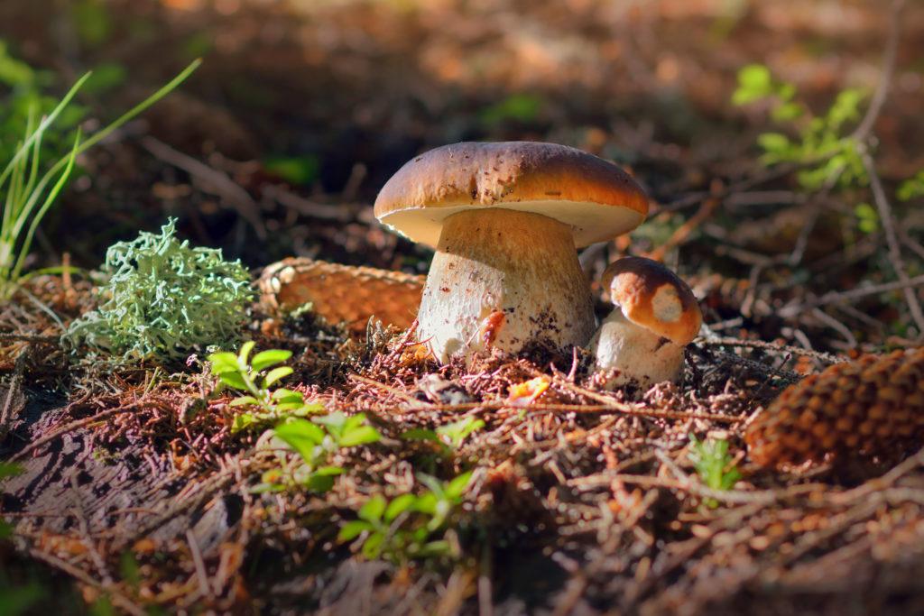 Steinpilze wachen im Wald angestrahlt von der Sonne