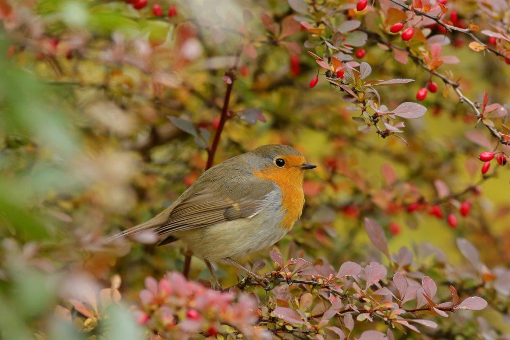 Vogel zwischen den Zweigen der vogelfreundlichen Berberitze