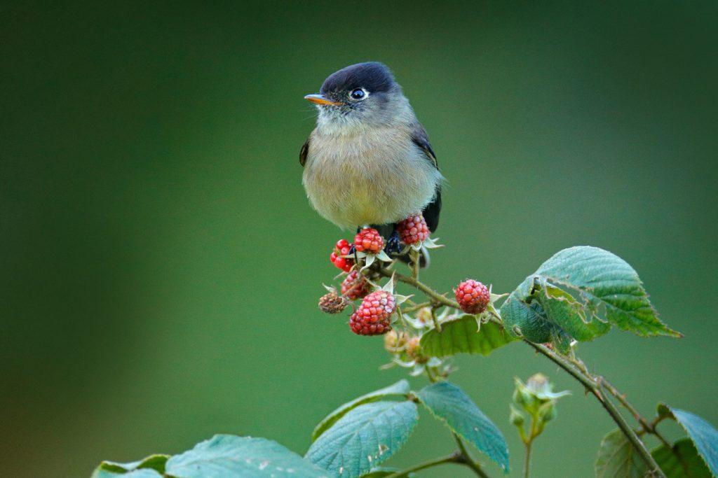Vogel auf vogelfreundlichem Himbeerstrauch