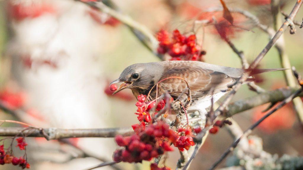 Vogel zwischen Zweigen der Vogelbeere