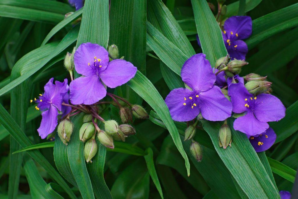 Dreimasterblume mit violetten Blüten