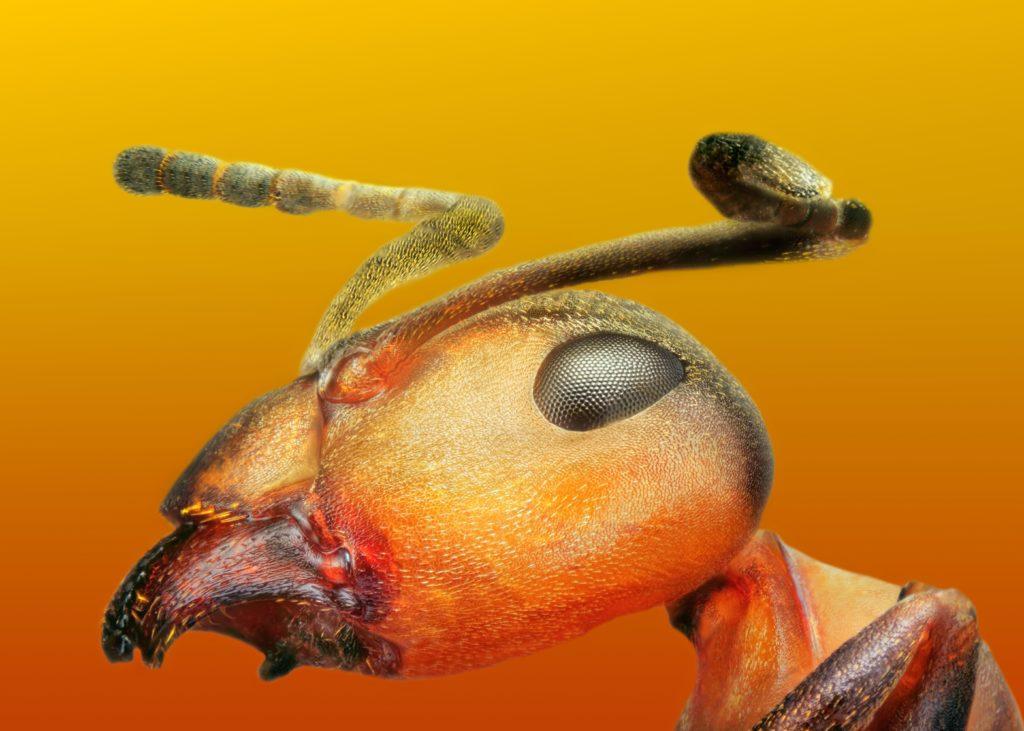 Ameise Kopf im Detail