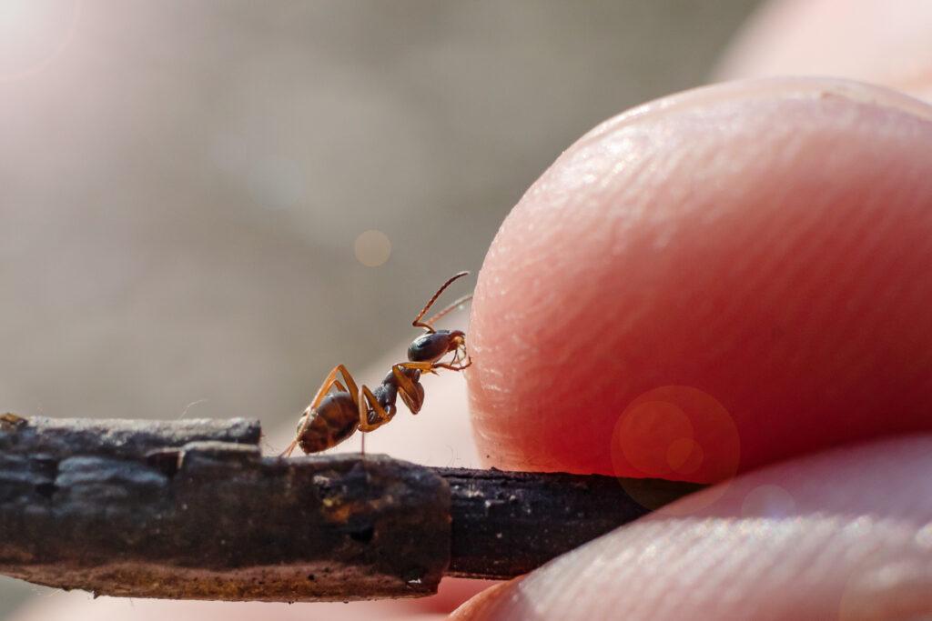 Ameise mit einem Finger vom Mensch