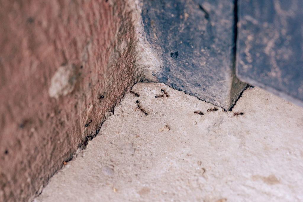 Ameisen in Ritzen und Spalten krabbelnd