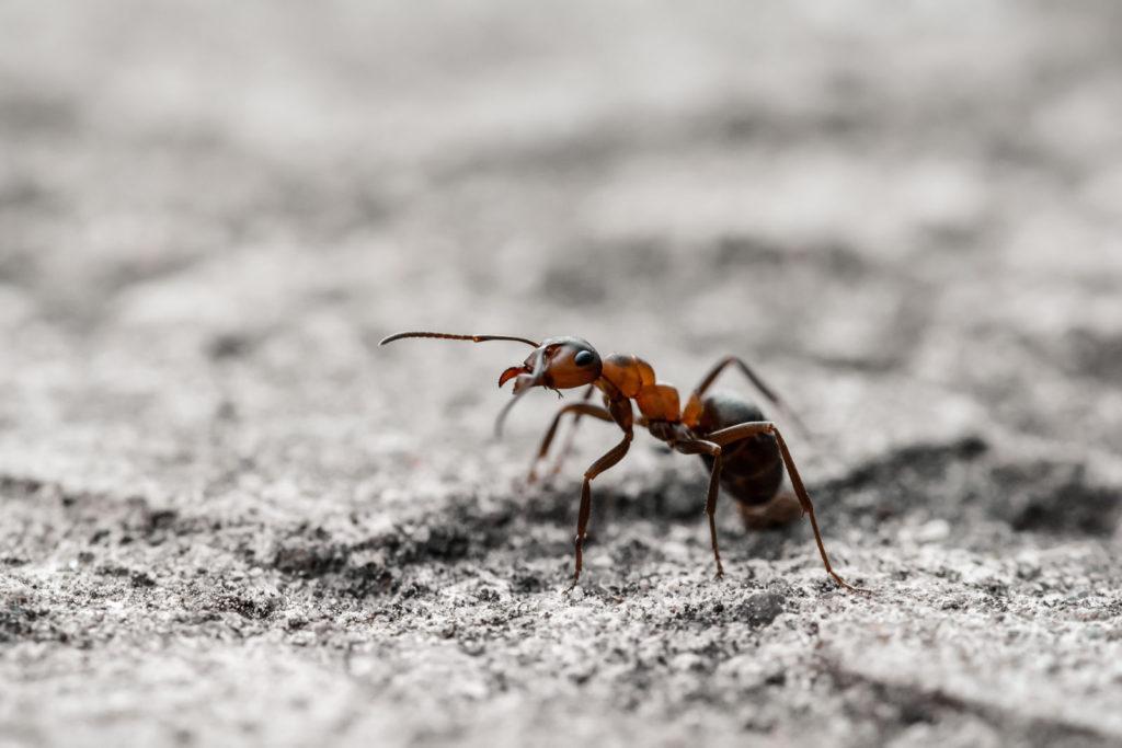 Einzelne Ameise auf Boden