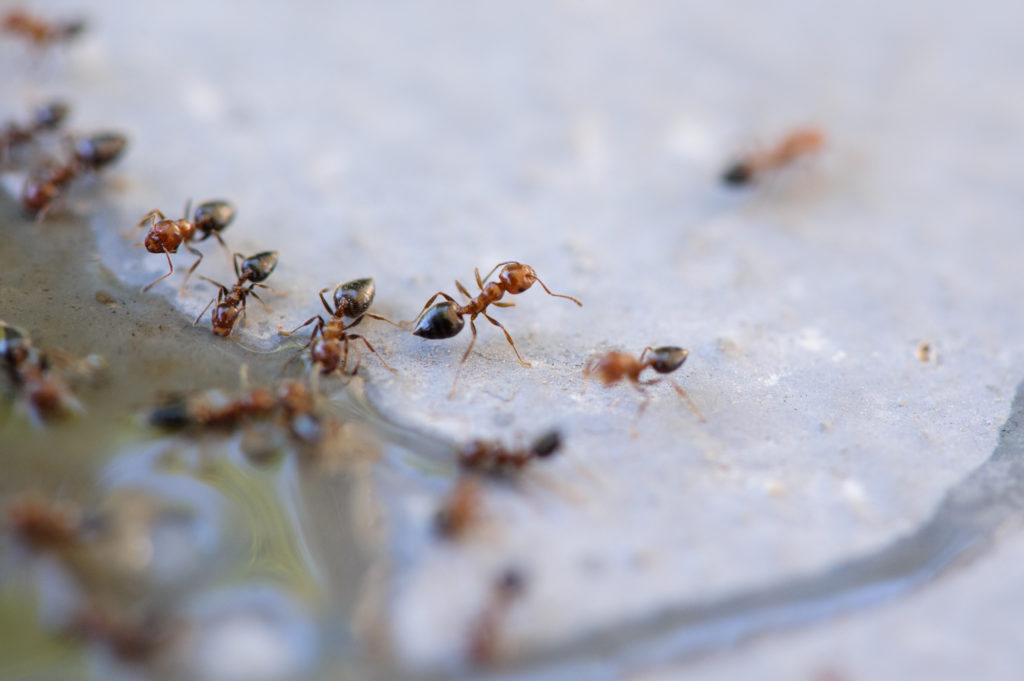 Ameisen trinken