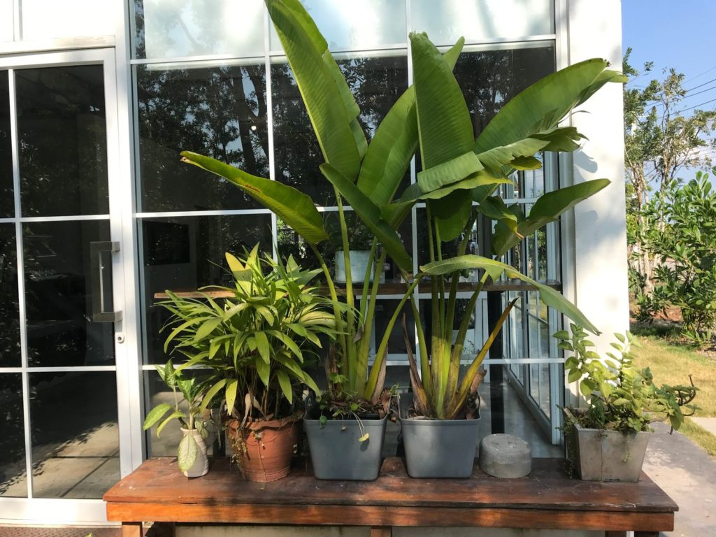 Bananen in Töpfen eingepflanzt