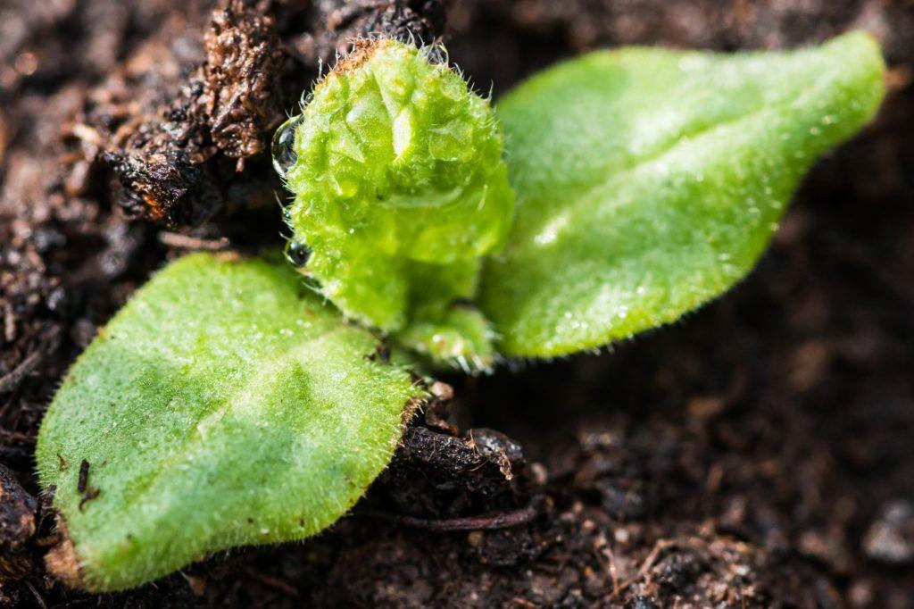 Borretschsetzling wird eingepflanzt