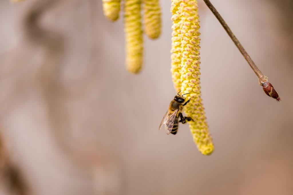 Biene auf Haselnussblüte sitzend