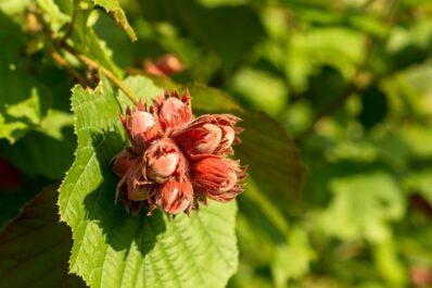 Haselnuss: Die gesunde Nuss im eigenen Garten anbauen