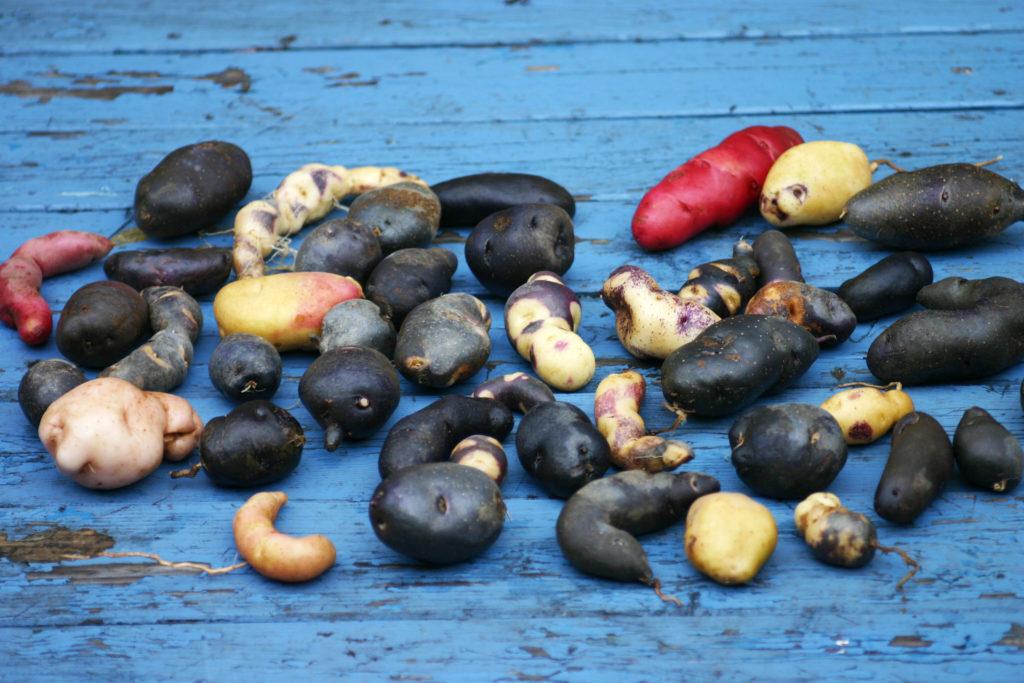 Bunte Kartoffelsorten auf blauem Holztisch