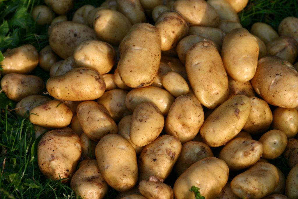 Kartoffelsorte Linda auf Gras