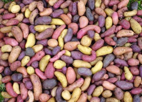 Viele Bunte Kartoffelsorten
