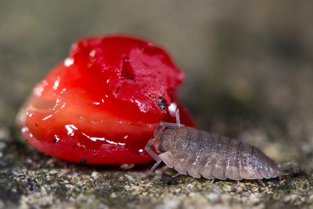 Kellerassel an Erdbeere knabbernd