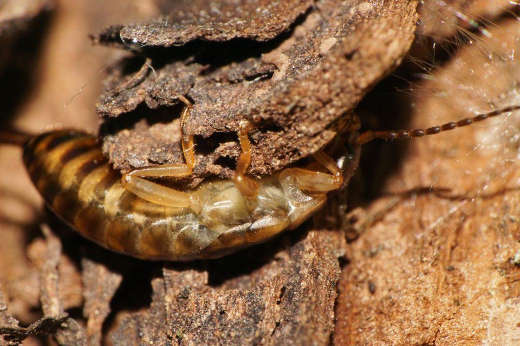 Ohrenkneifer unter Baumrinde krabbelnd