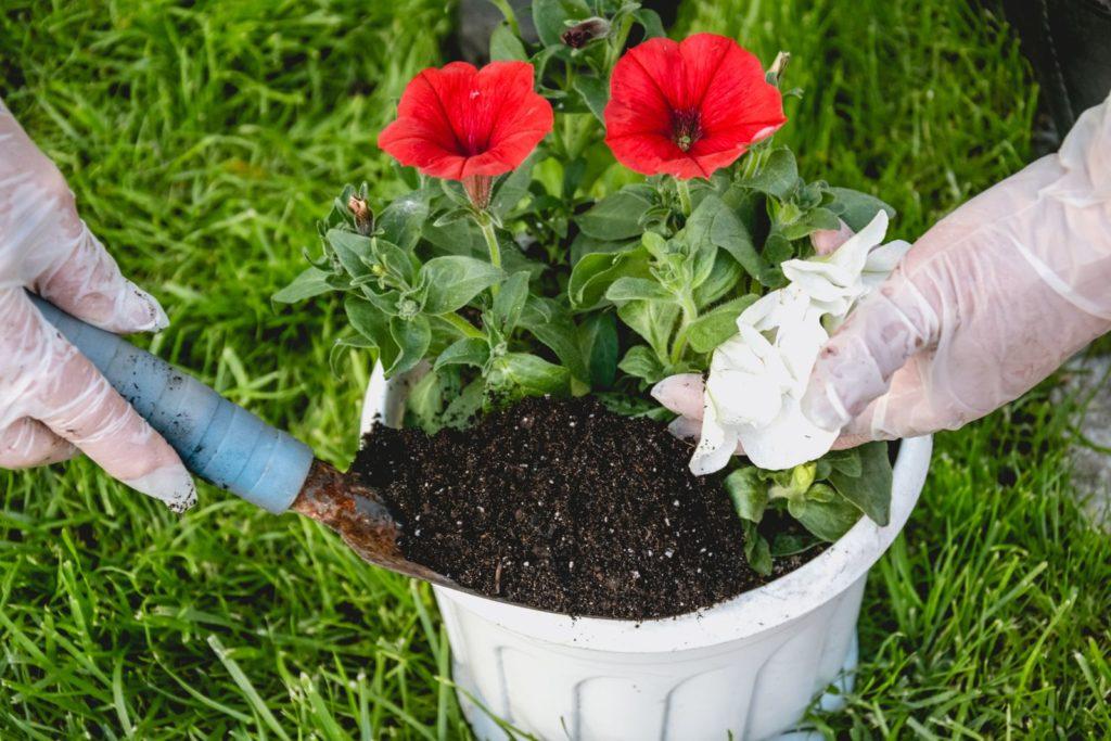 Petunien eingepflanzt mit Dünger