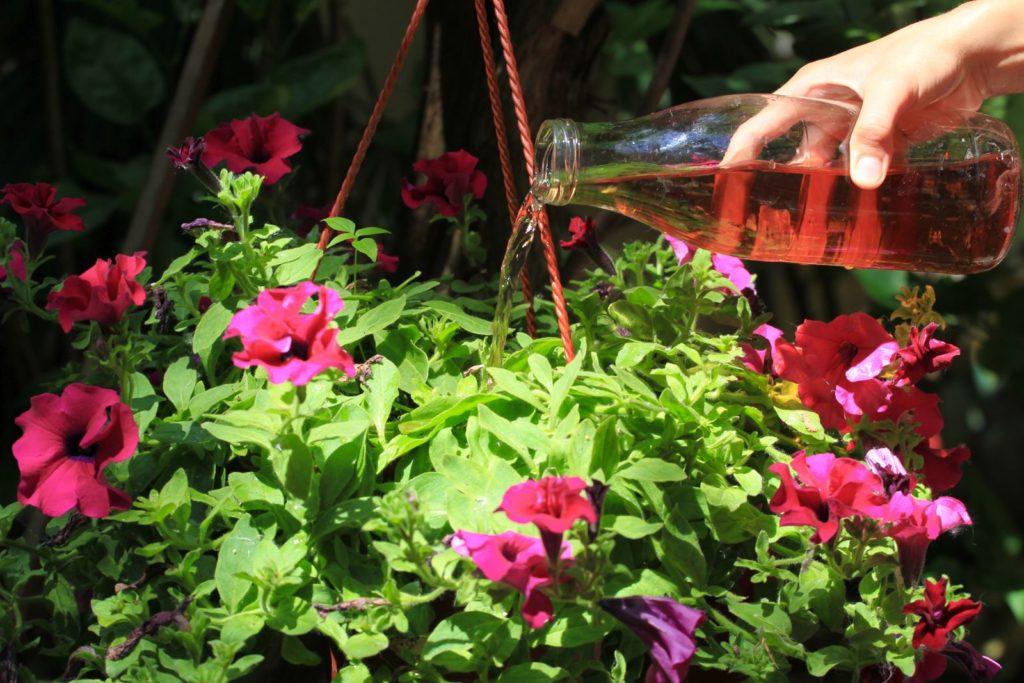 Petunien mit Flüssigdünger düngend