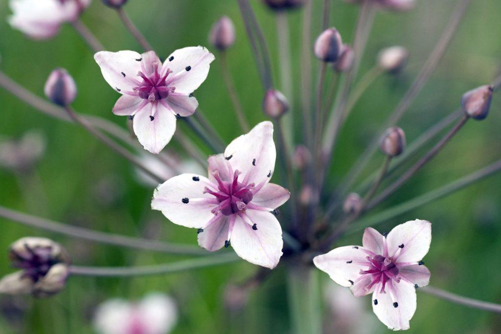 Schwanenblume blüht in weiß und violetten Blüten