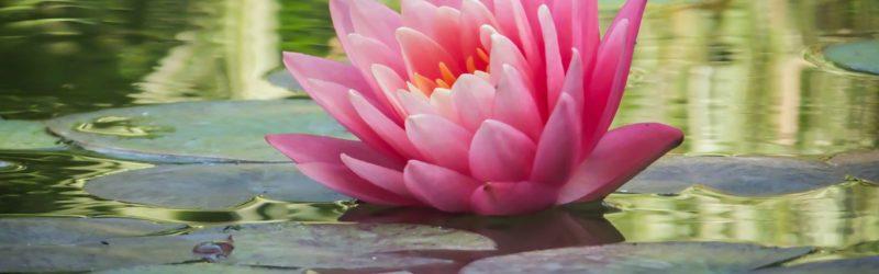Seerosen Blüht Auf Wasseroberflöche