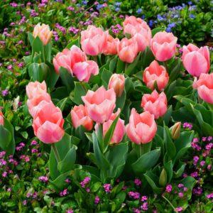 Rosa Tulpen Im Beet