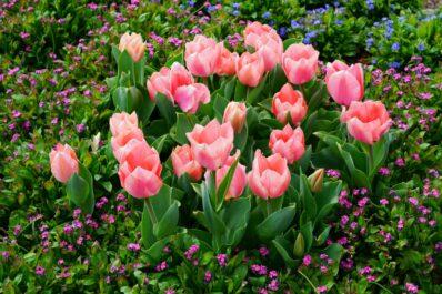 Tulpen düngen: Wann, wie & womit?