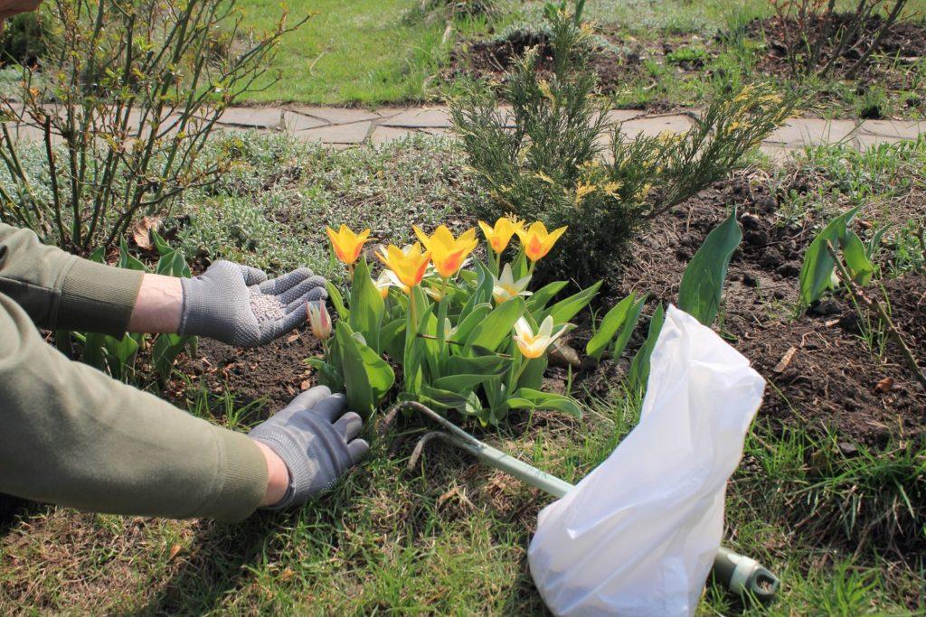 Tulpen mit Granulat gedüngt
