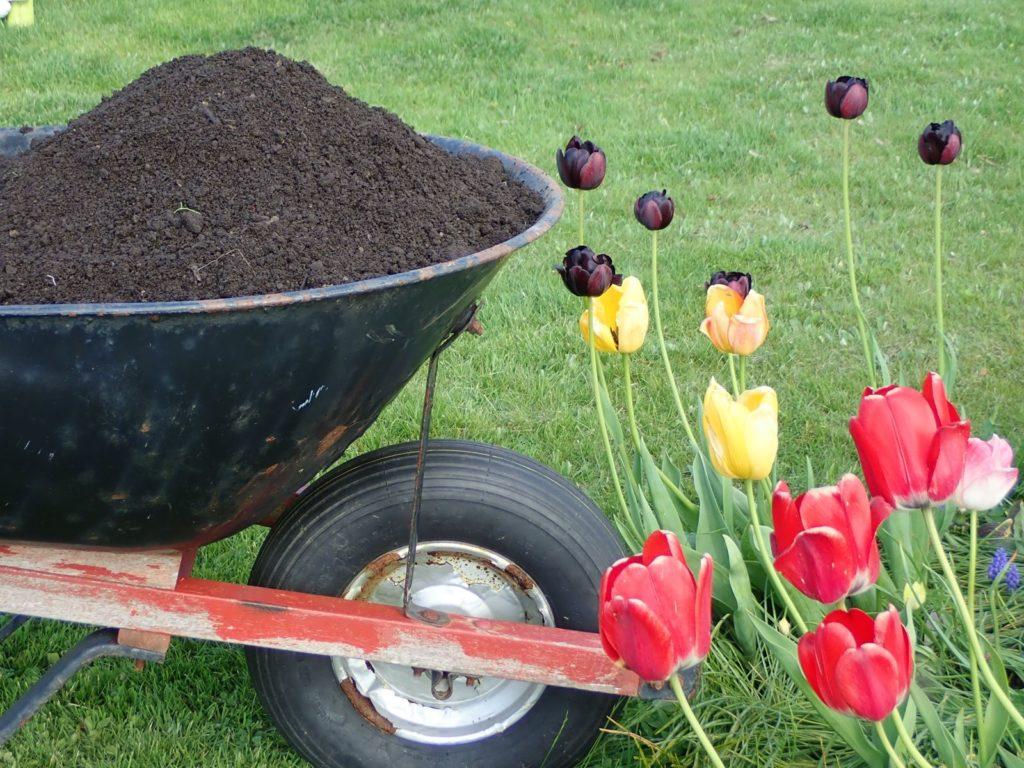 Tulpen mit Kompost aus Schubkarre gedüngt