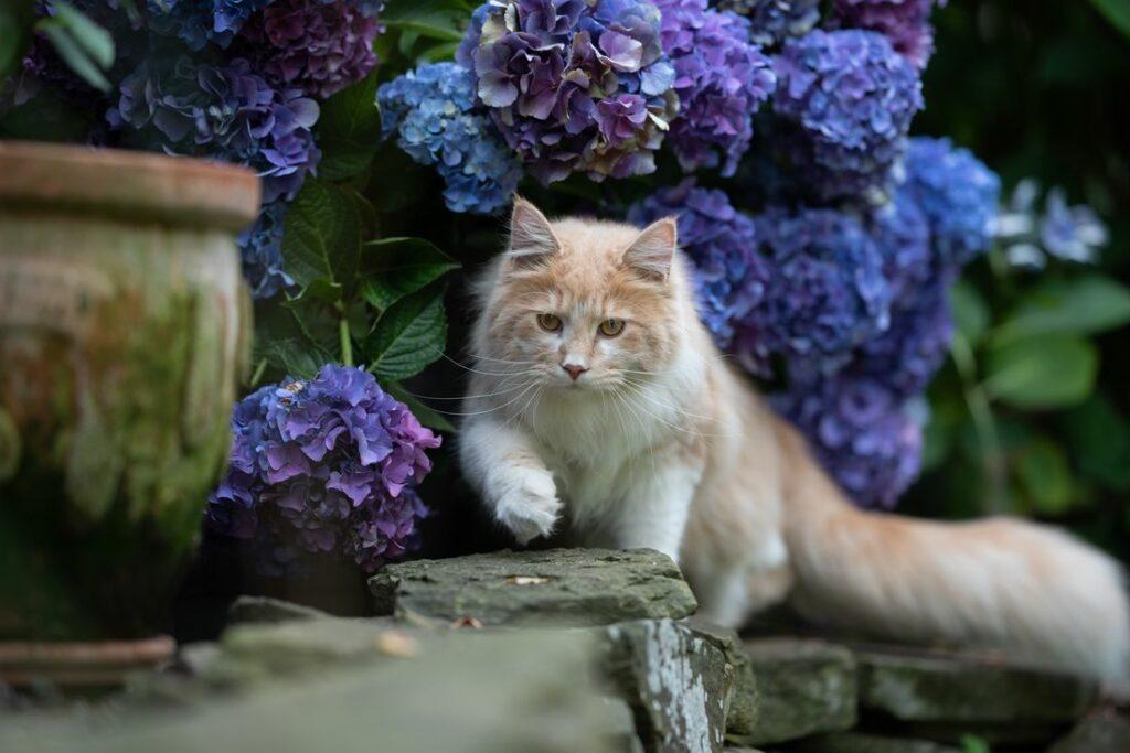 Blaue Hortensie mit Katze