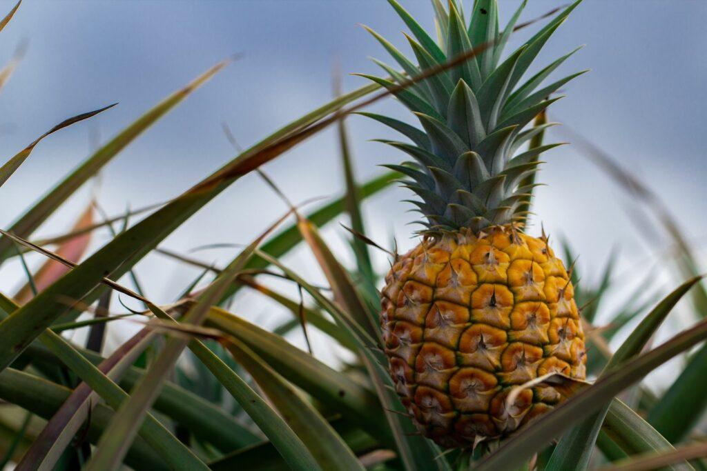 Ananas Ernte