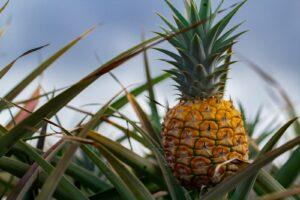 Ananas Auf Dem Feld